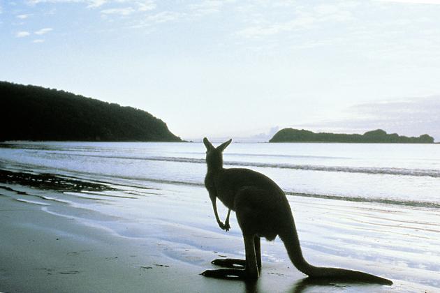 Kangaroo on the beach, Kangaroo Island