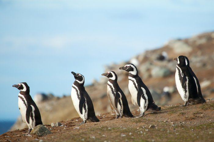 chl_animal_magellanicpenguins_dt_m_18322534.jpg__701x466_q85_crop_subject_location-Patagonia