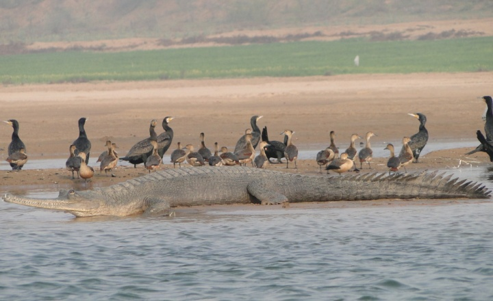gharial-resting-on-a-sand-bank-with-indian-cormorants-and-lesser-whistling-ducks-in-the-ncs