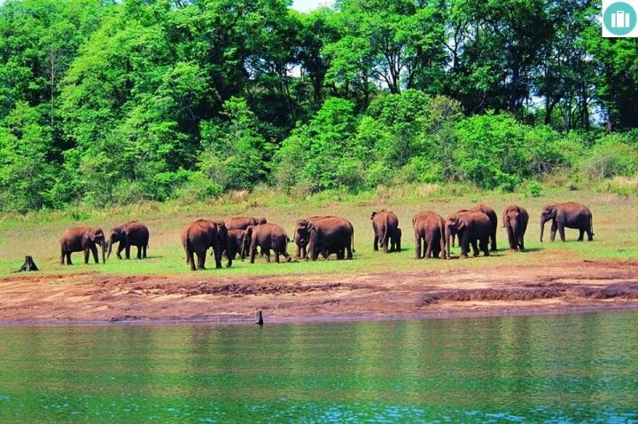 Herd of Elephants  Drink at Periyar Wildlife Sanctuary Thekkady