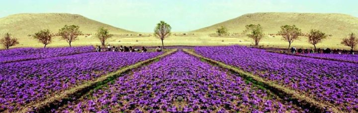 saffron-fields