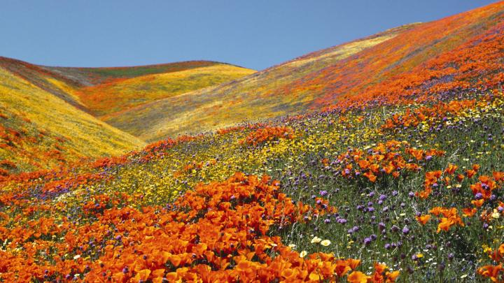 California Poppies (Eschscholzia californica). Antelope Valley. California, USA